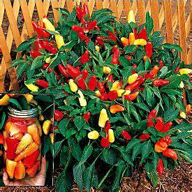 buy sweet pepper sweet pickle capsicum annuum var