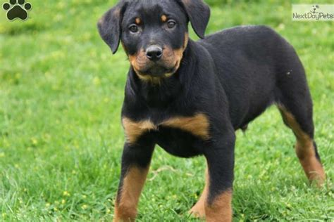 rottweiler toys miniature rottweiler grown wilson the rottweiler pictures breeds picture