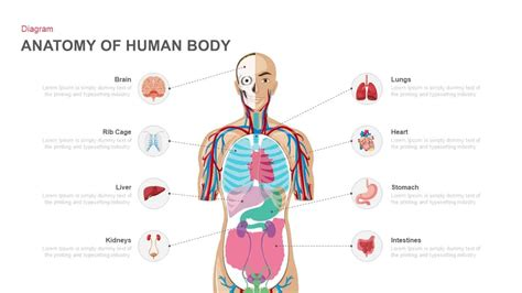 Anatomy Of Human Body Powerpoint And Keynote Template Slidebazaar Anatomy Ppt Templates Free