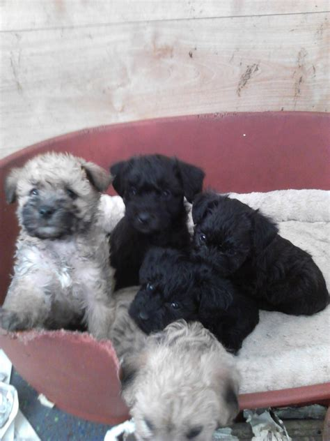border doodle puppies for sale border doodles poodle border cross bishop auckland