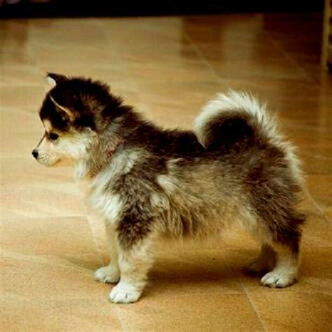 husky pomeranian mix the gallery for gt pomeranian husky mix grown