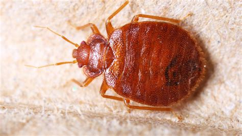 bean leaves bed bugs a new solution for bedbugs kidney bean leaves