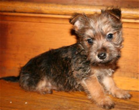 yorkie cairn terrier mix for sale yorkie mixed breeds breeds picture