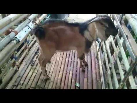 menyediakan kambing dan domba qurban harga murah rp 1 5 jt