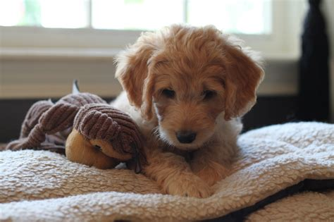 goldendoodle puppies for sale rochester ny mini goldendoodle puppies rochester ny breeds