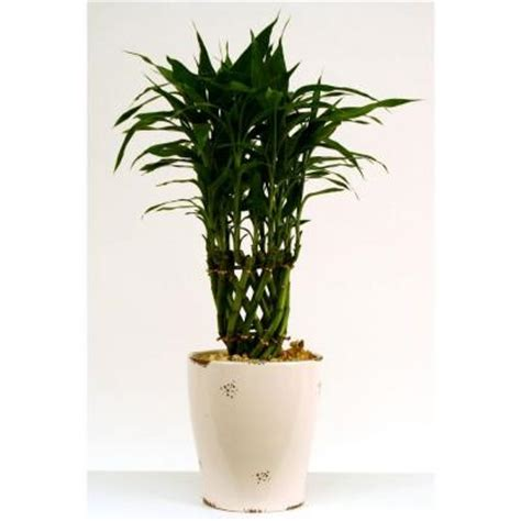 Floor Plants Home Depot by Delray Plants 6in Bamboo Dolomite Discontinued 6bamdol