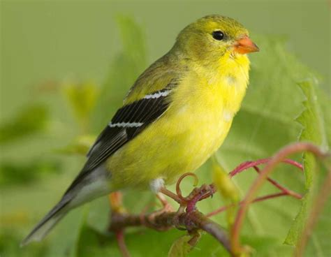 goldfinch female breeding 12 09 12 jpg missouri
