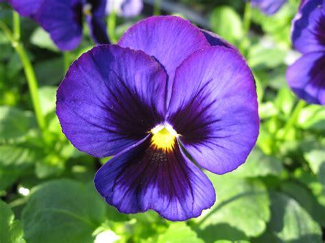 viola pansee blue