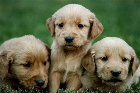 raising golden retriever puppies raising golden retriever puppies pets