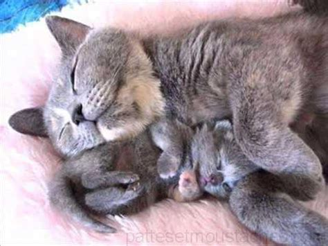 chat grandes oreilles photos de nos animaux