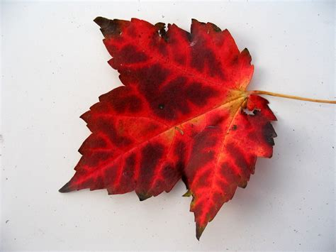 file canadian maple leaf jpg file maple leaf with veining jpg wikimedia commons
