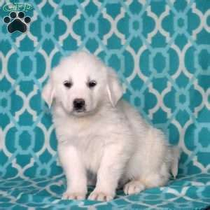 puppies for sale in chambersburg pa great pyrenees puppies for sale greenfield puppies