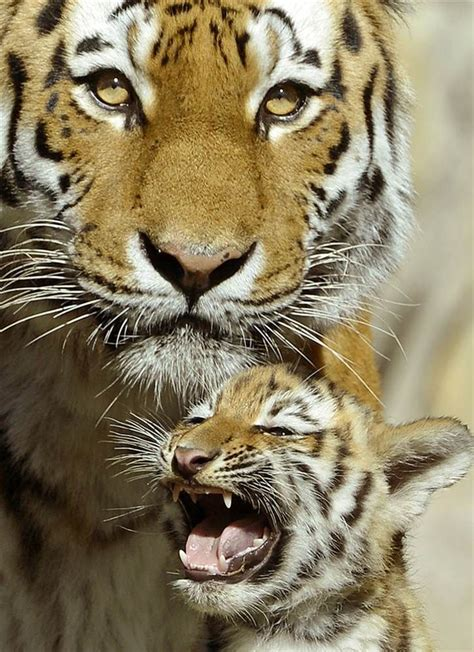 baby tiger with big tiger with images baby amur tiger cub with his furkl