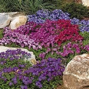 3 x aubrieta mixed colours alpine rockery trailing plants perennials 9cm pots