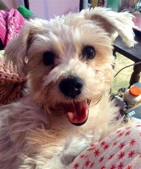Shea Home Design Studio Irvine border terrier mix bailey the schnauzer border terrier