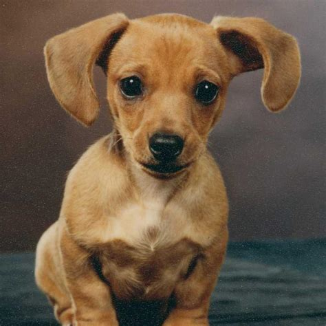 dotson puppies dachshund owner guide breed information and health