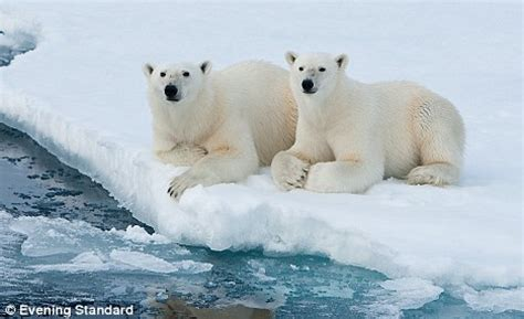 Polar Extinction Essay by Polar Bears Are Not Endangered But They Are Threat According To U S Government Daily