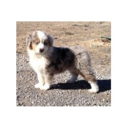australian shepherd puppies colorado miniature australian shepherd aussie breeders in colorado freedoglistings
