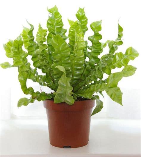 boston fern low light crispy wave plant indoor fern low light great air