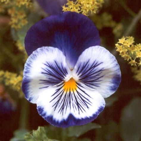 imagenes de flores llamadas pensamientos pensamientos riego cultivo y cuidados flores flor de