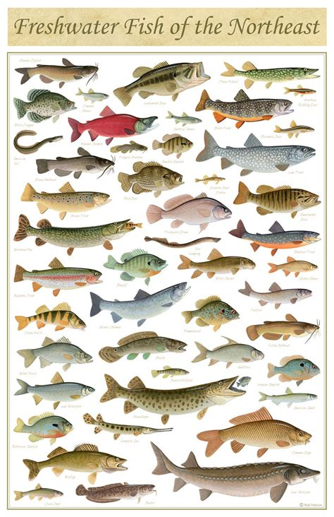 freshwater fish freshwater fish of the northeast poster 11x17 inch print by