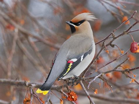 bohemian waxwing bird wallpapers hd