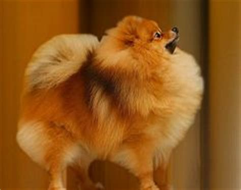 should you shave a pomeranian 1000 images about grooming on poodles grooming and poodle grooming