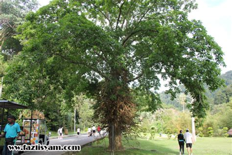 Pohon Cannonball cannon tree1 segalanya tentang tumbuhan