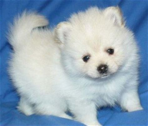 snow white pomeranian puppies sale awesome show quality snow white pomeranian puppies tx asnclassifieds