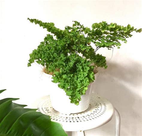 jenis tanaman hias daun penghias rumah