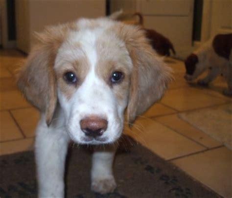 basset hound golden retriever basset retriever breed information and pictures