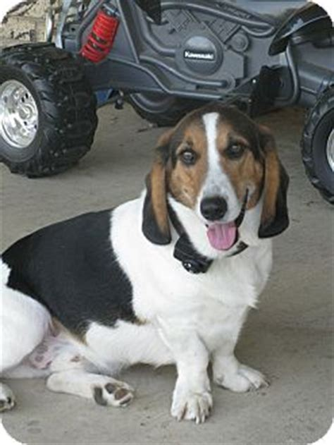 beagle basset hound mix puppies bagle hound basset hound beagle mix info facts temperament puppies