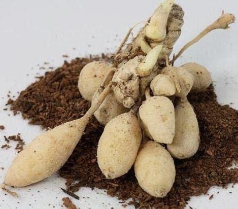 Jual Pupuk Hidroponik Makassar jual tanaman kunir putih bibit