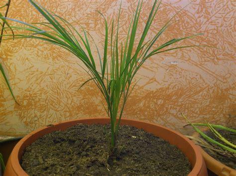 criadas y seoras edicin identificacion de varias palmeras y semillas livistona trachycarpus syagrus foro de