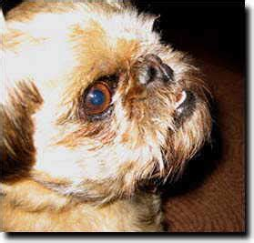 can pugs fly in cabin with passengers national brussels griffon rescue inc