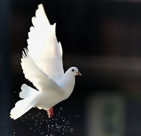 white dove beautiful bird animal freedom wallpaper