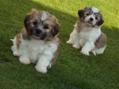 shih tzu and bichon frise puppies for sale shih tzu x bichon frise puppies for sale llanelli carmarthenshire pets4homes