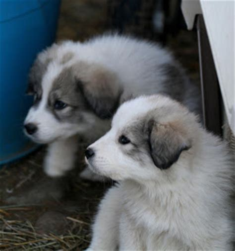 lgd puppies welcome to far far away farm lgd puppies