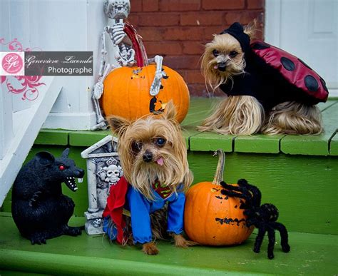 yorkie superman costume 261 best images about yorkie on supplies happy puppy and