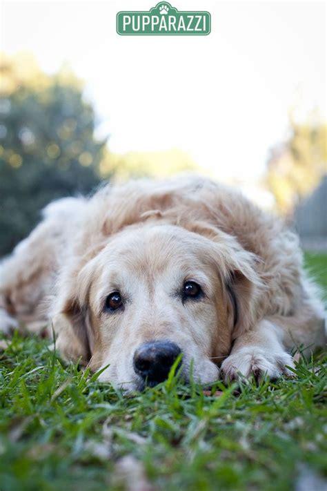 golden retriever melbourne 192 best images about golden retrievers on the golden doggies and