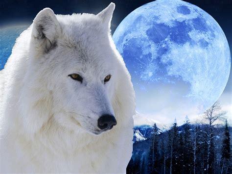 imagenes lobo blanco lobo blanco y luna wallpaper imagui