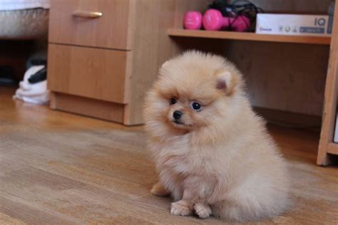 pomeranian puppies for sale in idaho teacup pomeranian puppies pets for sale pets for sale