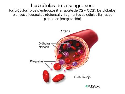 la sangre de los sangre y sistema circulatorio ppt video online descargar