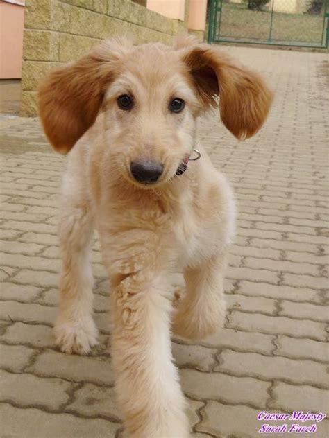 afghan hound puppies afghan hound puppy via fareh a n i m a l s