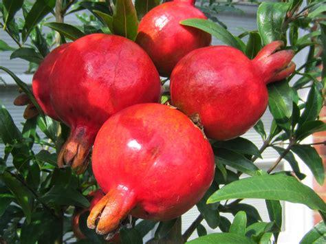 Harga Bibit Buah Delima Merah tanaman buah delima merah daftar harga terkini dan