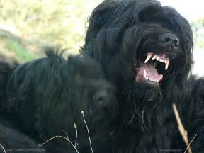 Russian black terrier vs kangal dog breeds picture