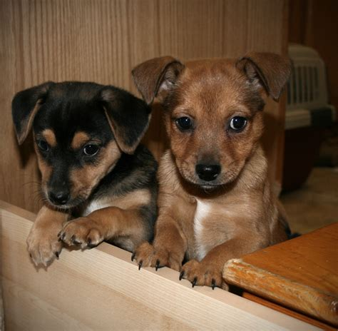 Puggle Shed by Puggle Featured Puggle Breeds Picture