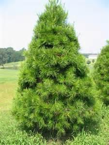 virginia pine 171 the christmas tree patch