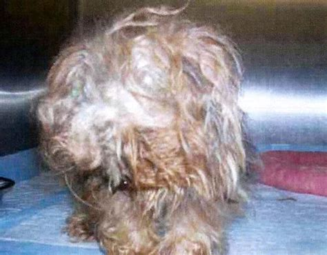 yorkie rescue md itty bitty wee s web page