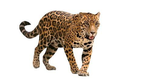 imagenes de un jaguar en caricatura desceso de jaguar en quintana roo